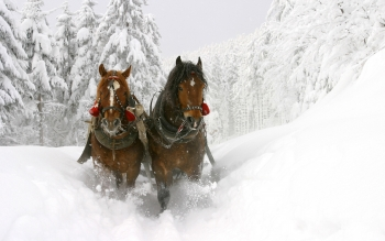 Animalia - Caballo Wallpapers and Backgrounds ID : 364821