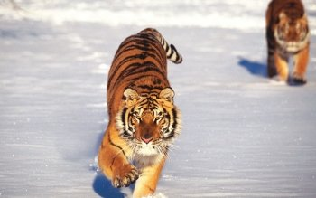 Animal - Tiger Wallpapers and Backgrounds ID : 364950