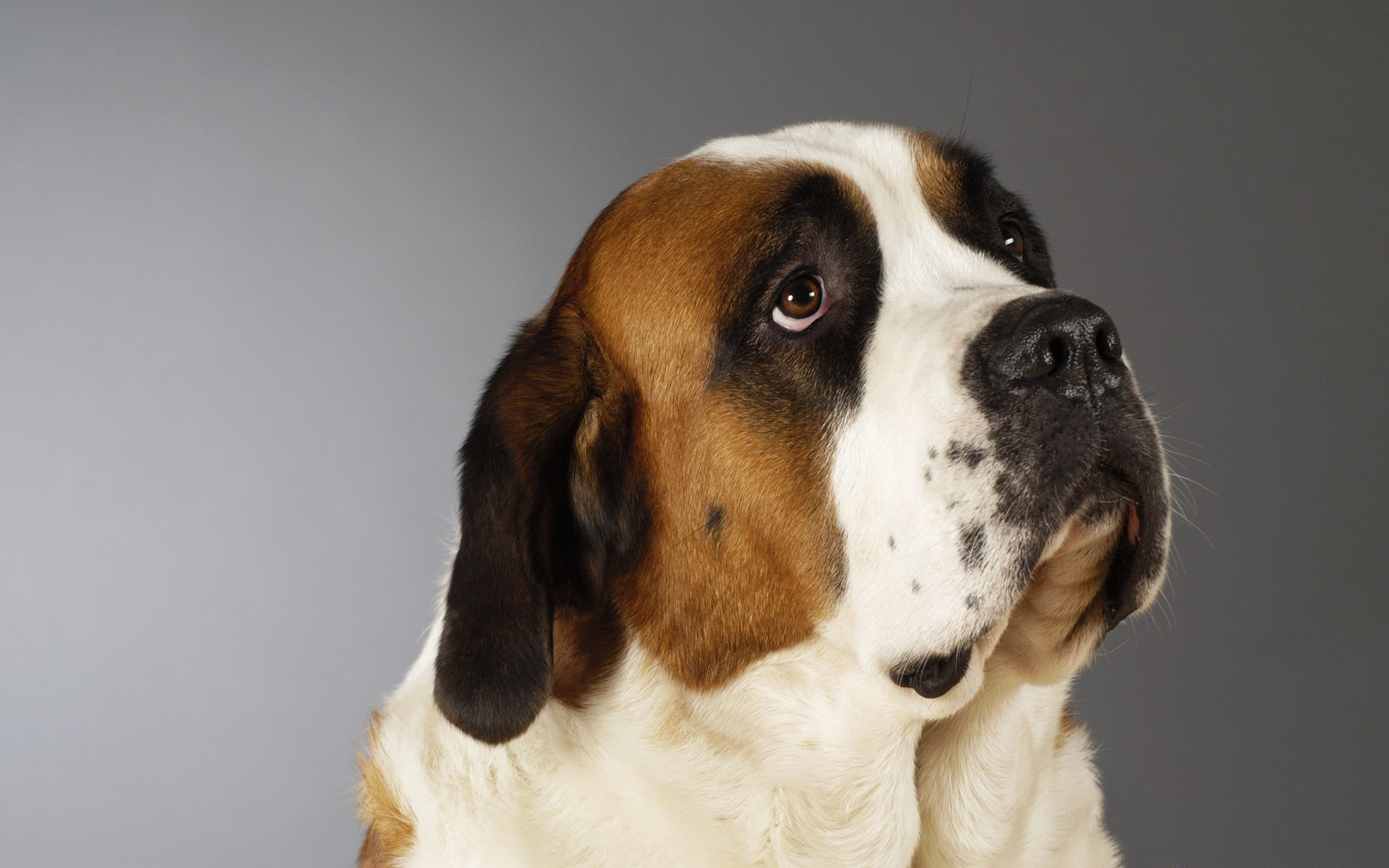 St. Bernard Full HD Wallpaper And Background Image