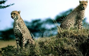 Animal - Cheetah Wallpapers and Backgrounds ID : 365007
