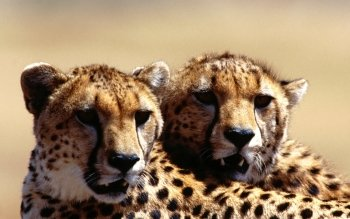 Djur - Cheetah Wallpapers and Backgrounds ID : 365015