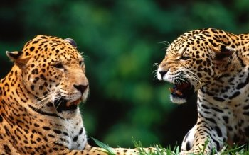 Animal - Leopard Wallpapers and Backgrounds ID : 365020