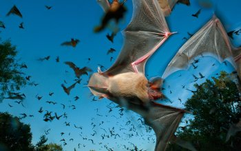 Animal - Bat Wallpapers and Backgrounds ID : 365050