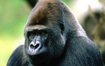 Animal - Gorilla Wallpapers and Backgrounds ID : 365063