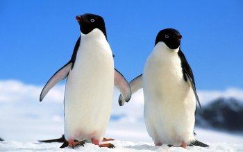 Animalia - Penguin Wallpapers and Backgrounds ID : 365087