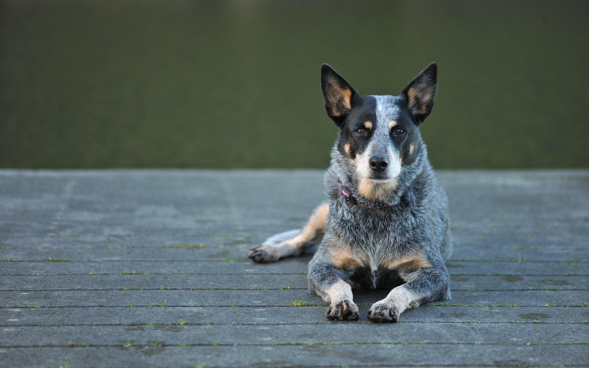29 Australian Cattle Dog Hd Wallpapers Background Images