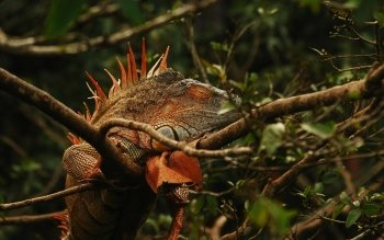 Animal - Iguana Wallpapers and Backgrounds ID : 367655
