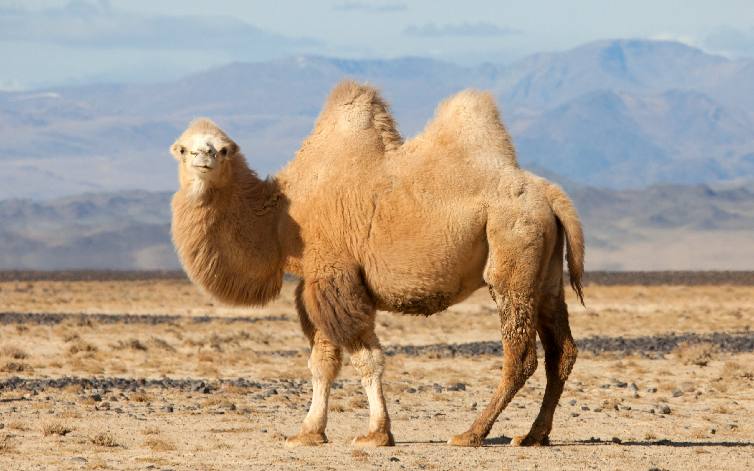 HD Wallpaper | Background Image ID:368692. 2560x1600 Animal Camel
