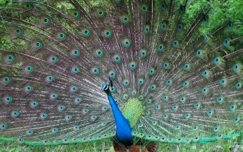 Tier - Peacock Wallpapers and Backgrounds ID : 368376