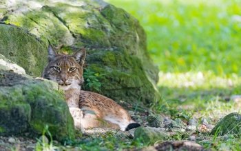 Animal - Lynx Wallpapers and Backgrounds ID : 368401