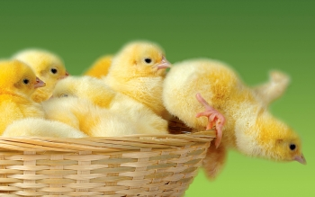 Animal - Chicken Wallpapers and Backgrounds ID : 368696