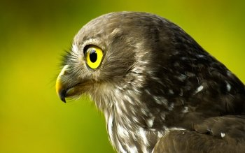 Animal - Falcon Wallpapers and Backgrounds ID : 368897