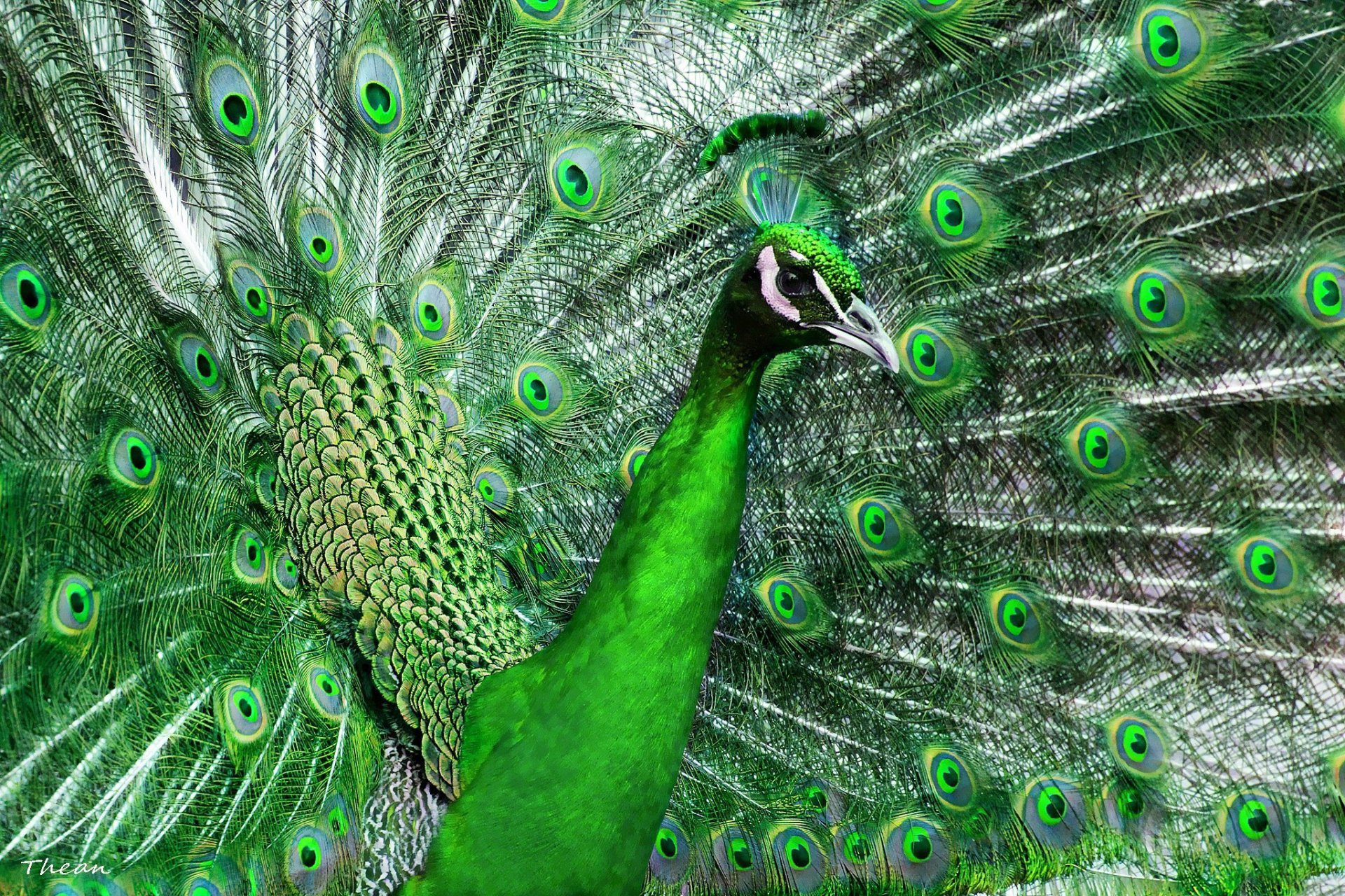 Animal - Peacock  Wallpaper