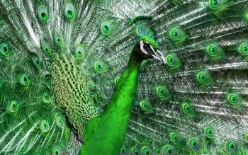 Animal - Peacock Wallpapers and Backgrounds ID : 369067