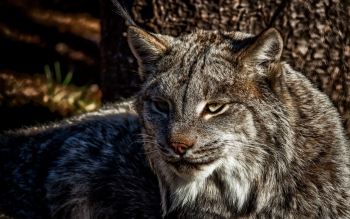 Animal - Lynx Wallpapers and Backgrounds ID : 369231