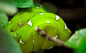 Animal - Snake Wallpapers and Backgrounds ID : 369612