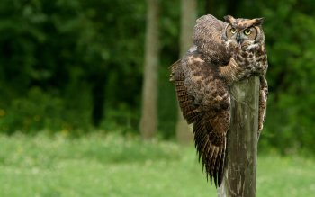 Animal - Owl Wallpapers and Backgrounds ID : 369767