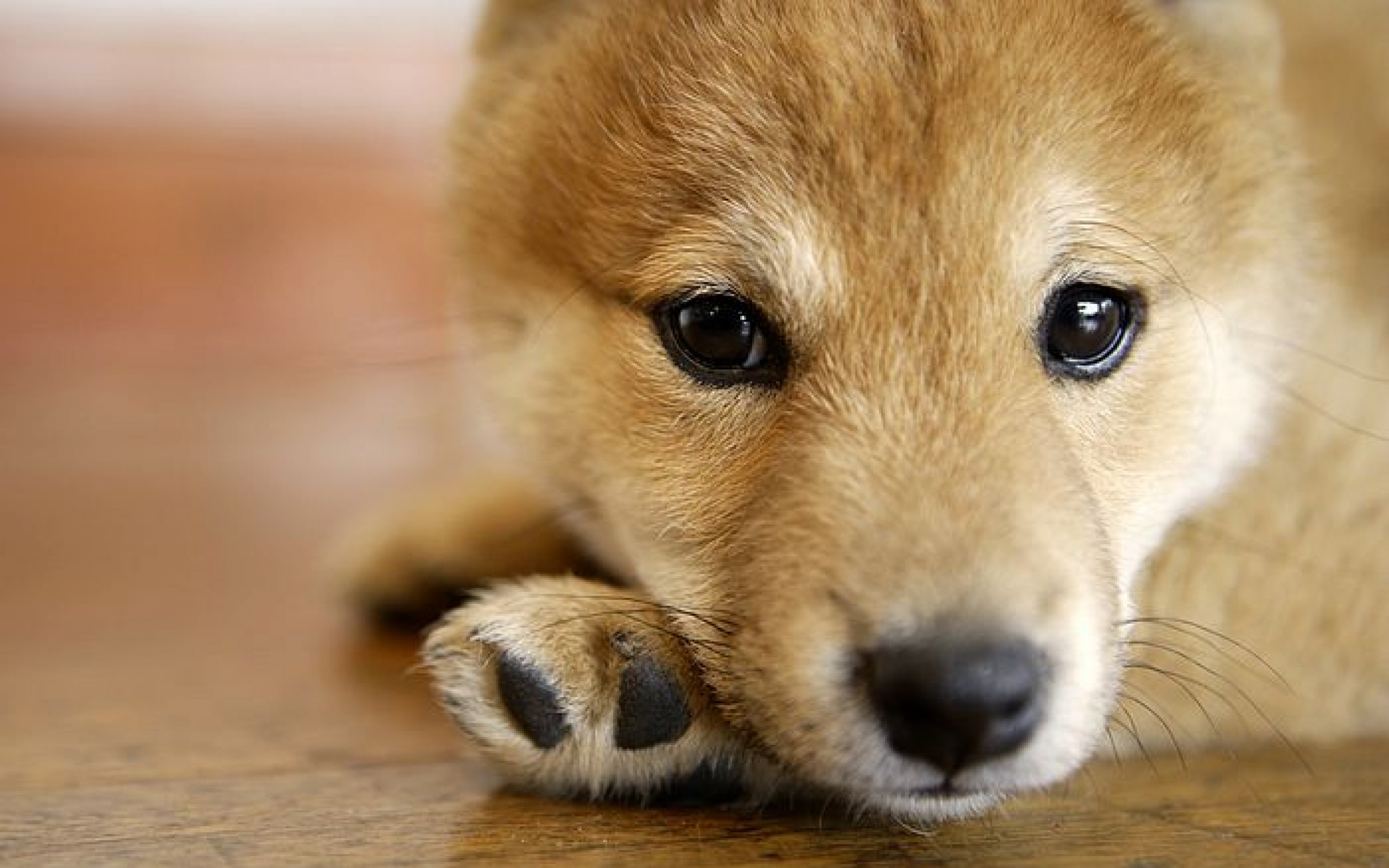 Shiba Inu Full HD Wallpaper And Background Image
