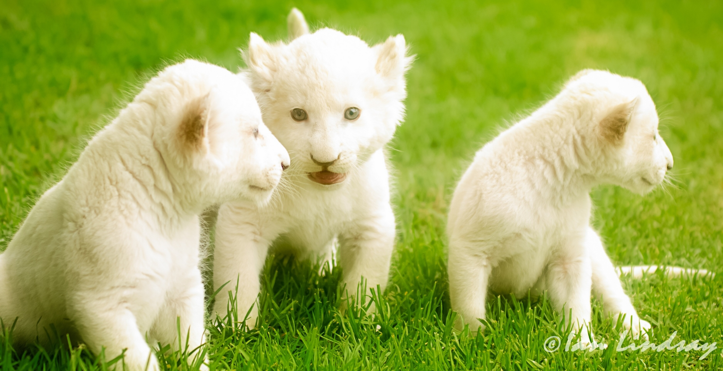 26 White Lion Hd Wallpapers Background Images Wallpaper Abyss Images, Photos, Reviews