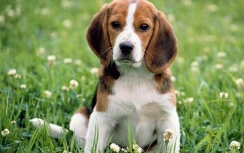 Animal - Beagle Wallpapers and Backgrounds ID : 371108