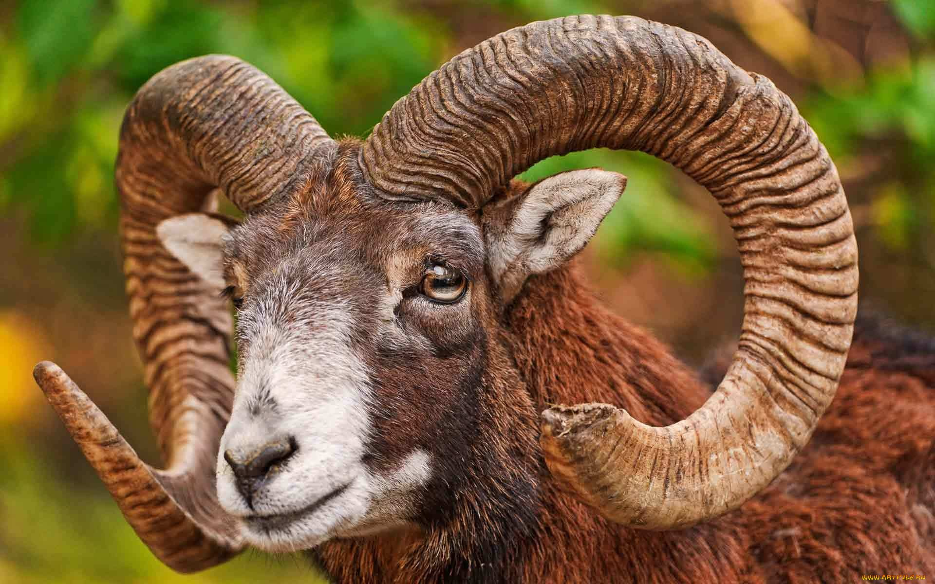 Ram Big Horn >> Bighorn Sheep HD Wallpaper | Background Image | 1920x1200 ...