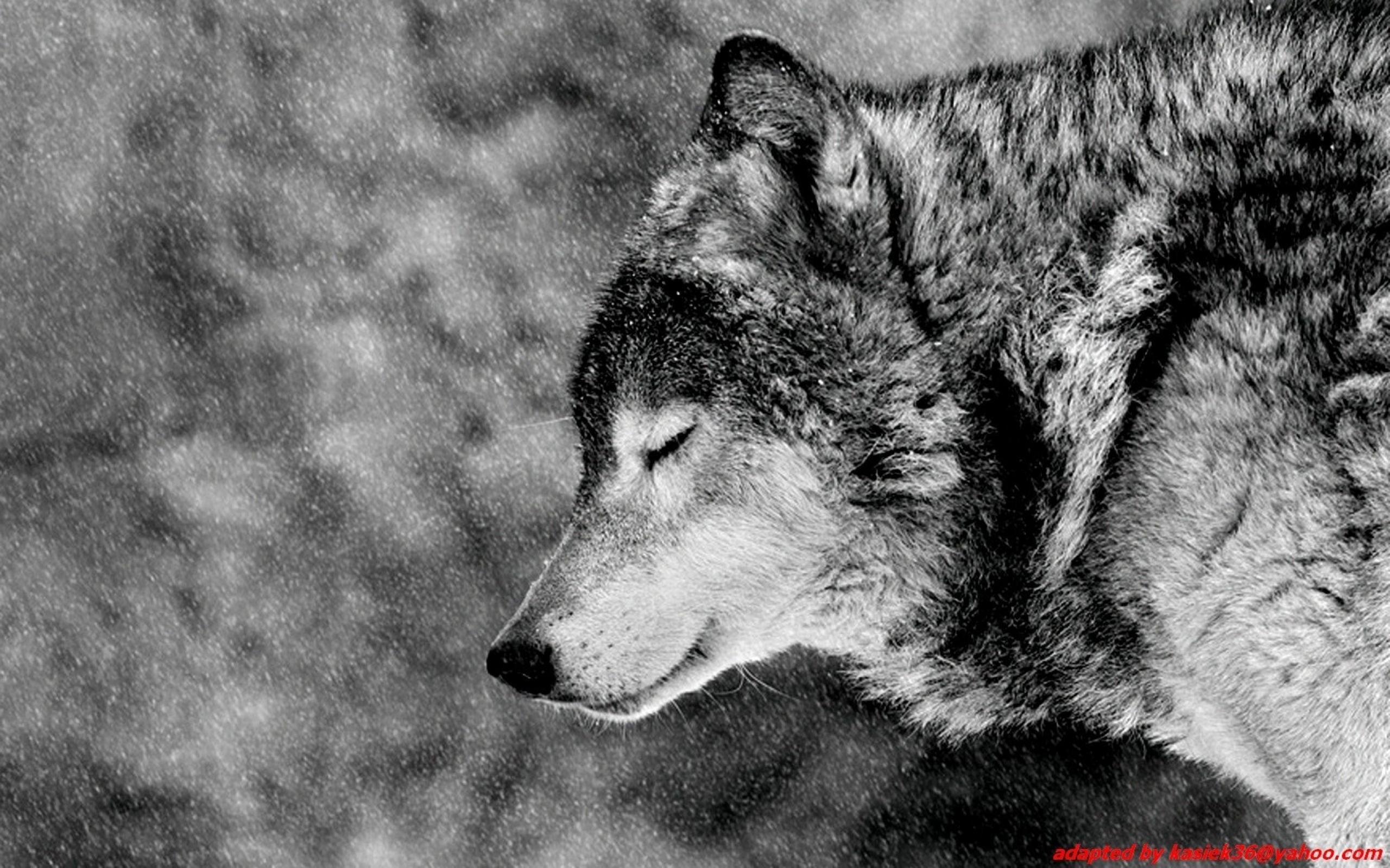 Winter Wolf Computer Wallpapers Desktop Backgrounds x
