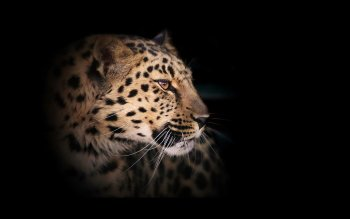Animal - Leopard Wallpapers and Backgrounds ID : 373565