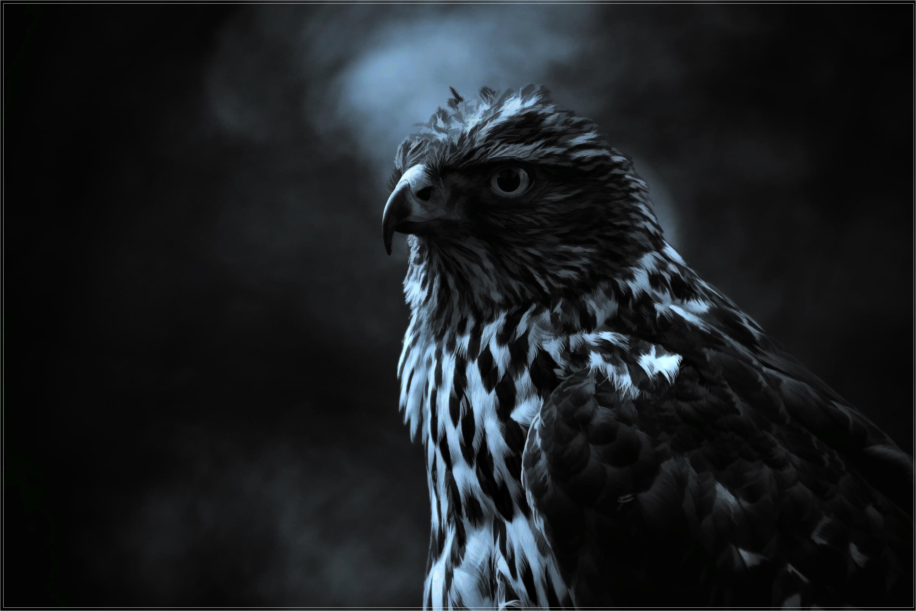 hawk hd wallpaper - photo #37