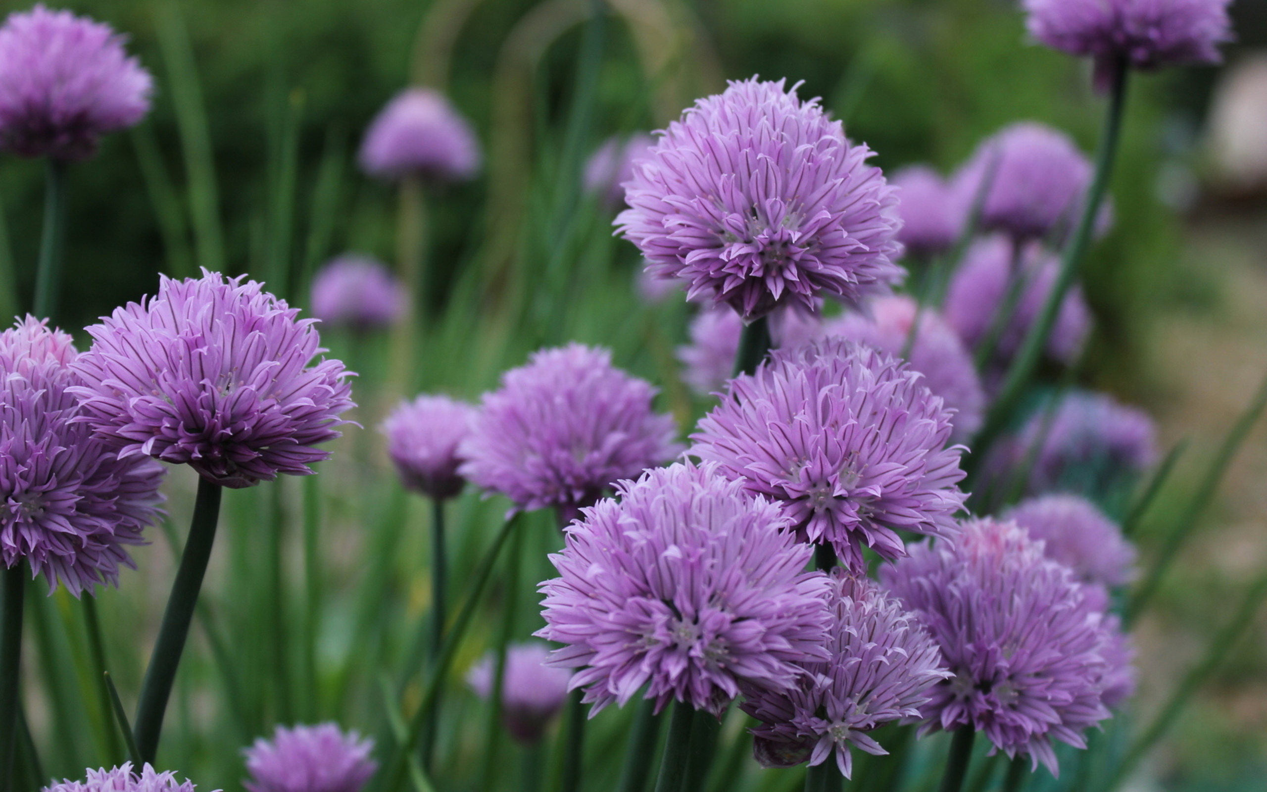 Chive Flowers Hd Wallpaper Background Image 2560x1600 Id