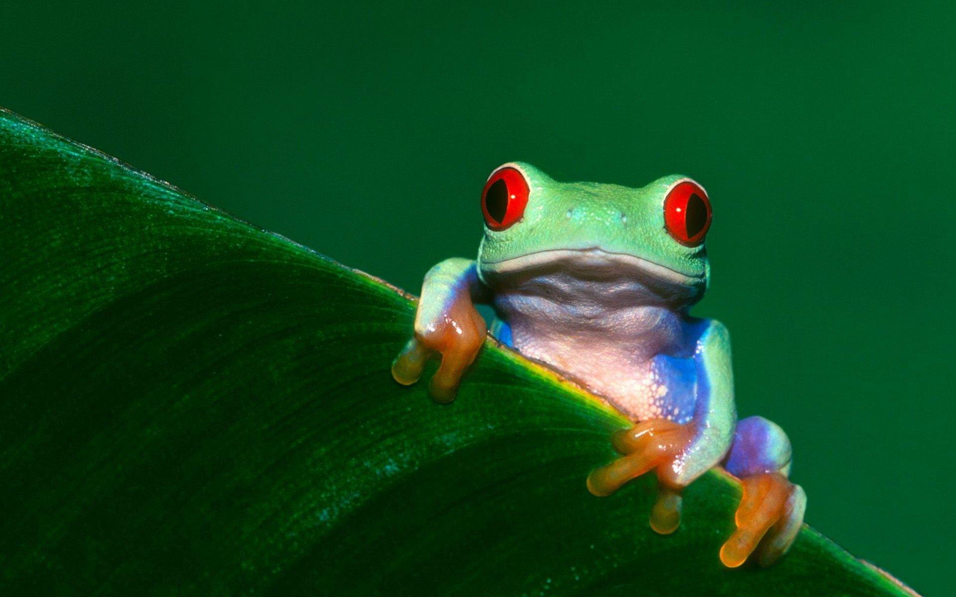 Animal - Red Eyed Tree Frog  Wallpaper