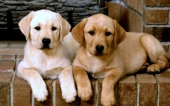 204 Labrador Retriever HD Wallpapers