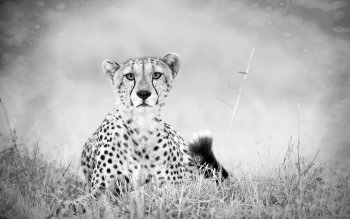 Animal - Cheetah Wallpapers and Backgrounds ID : 375388