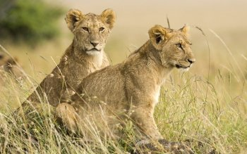 1 Masai Mara Hd Wallpapers Background Images Wallpaper Abyss
