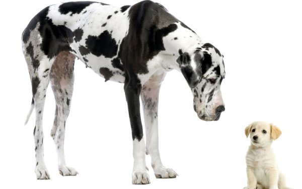 Animal Great Dane Dogs HD Wallpaper   Background Image