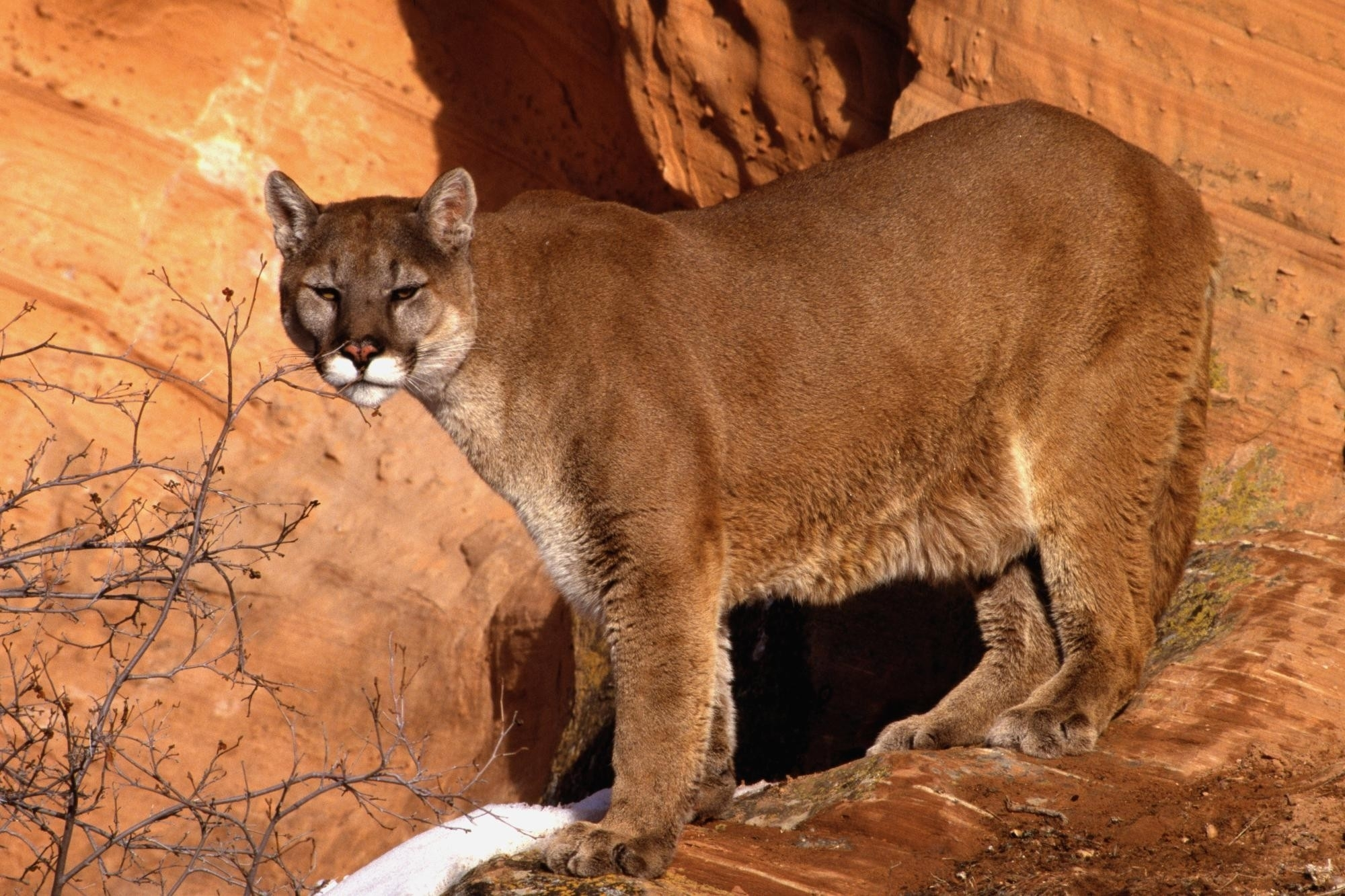 Cougar Hd Wallpaper Background Image 2000x1333 Id 376850