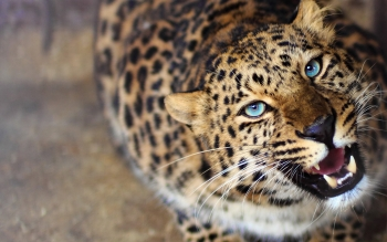 Animalia - Leopard Wallpapers and Backgrounds ID : 377047