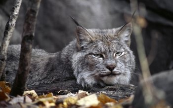 Animal - Lynx Wallpapers and Backgrounds ID : 377336