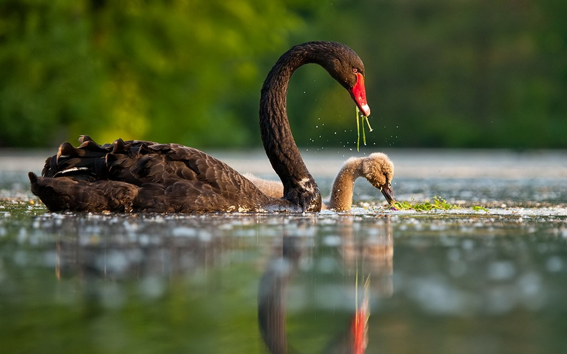 Animal - Black Swan Wa...