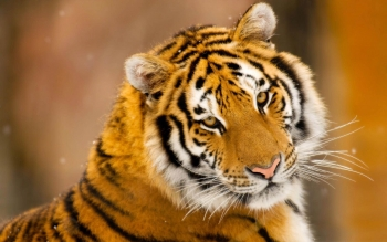 Animal - Tiger Wallpapers and Backgrounds ID : 378027