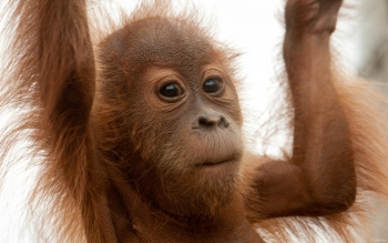 Animal - Orangutan Wallpapers and Backgrounds ID : 378136
