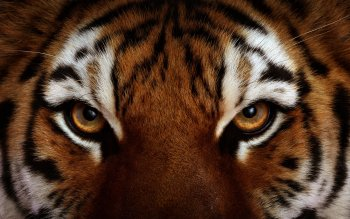 Animal - Tiger Wallpapers and Backgrounds ID : 378612