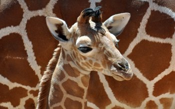 Animal - Giraffe Wallpapers and Backgrounds ID : 379002