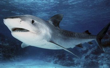 Animal - Tiger Shark Wallpapers and Backgrounds ID : 379012