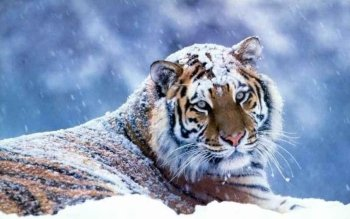 Animalia - Tigre Wallpapers and Backgrounds ID : 379742