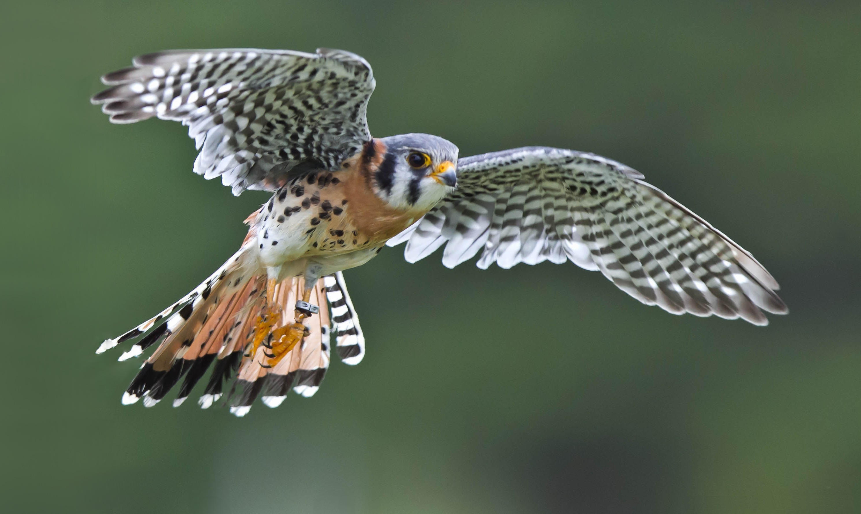 American kestrel full hd wallpaper and background image - Birds of prey wallpaper hd ...