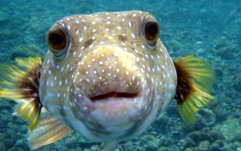Animal - Puffer Fish Wallpapers and Backgrounds ID : 380888