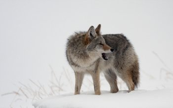 Animal - Wolf Wallpapers and Backgrounds ID : 380927