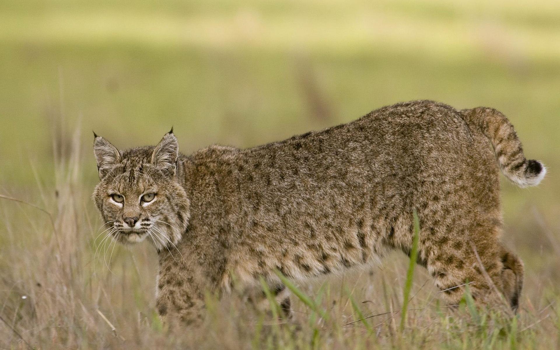 Hd Animal Wallpapers Cool Images Wild Life Download: Bobcat HD Wallpaper