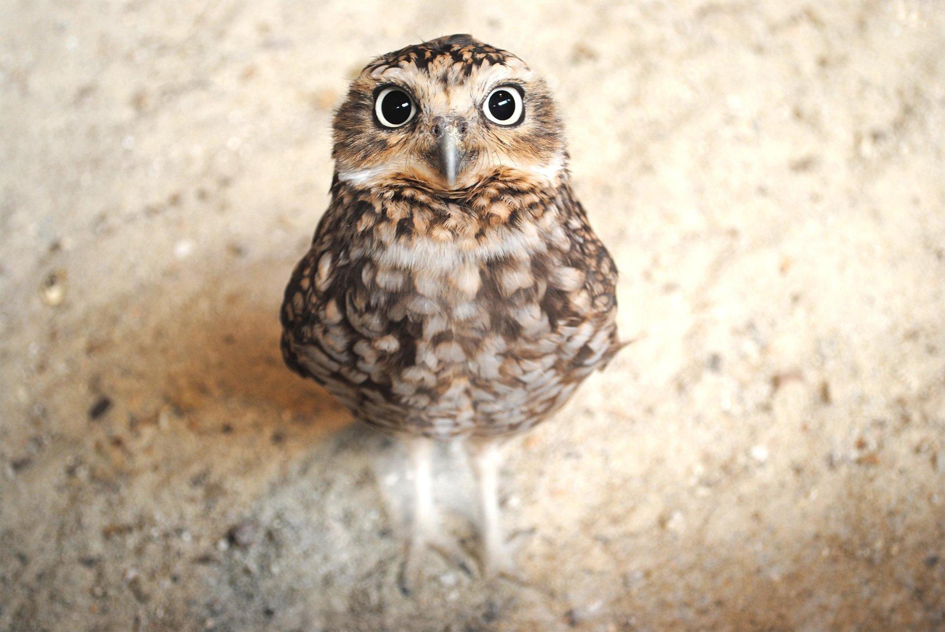 Animal - Owl  Wallpaper