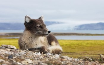 Animal - Arctic Fox Wallpapers and Backgrounds ID : 384218